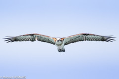 Eastern Osprey, Hervey Bay, Australia (Manuel ROMARIS) Tags: australia herveybay osprey easternosprey queensland urangan au