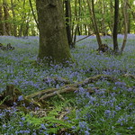 The Peace of the Bluebell Wood thumbnail