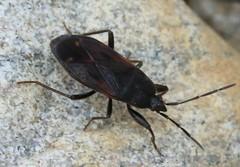 Eremocoris plebejus  lygaeidae (BSCG (Badenoch and Strathspey Conservation Group)) Tags: acm insect bug hemiptera lygaeidae ground sunshine may woodlandedge heathland