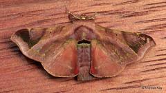 Silkworm Moth, Quentalia secatina? Bombycidae (Ecuador Megadiverso) Tags: amazon andreaskay apatelodidae bombycidae ecuador moth quentaliasp rainforest silkwormmoth tamanduareservaflores quentaliasecatina