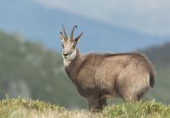 Prince des Vosges (Eric Penet) Tags: animal vosges france lorraine alsace est wildlife wild faune sauvage mai printemps montagne nature mammifère chamois mâle bouc
