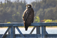 2018-05-11 Bald Eagle (04) (1024x680) (-jon) Tags: anacortes skagitcounty skagit washingtonstate washington salishsea curtiswharf guemeschannel pnw pacificnorthwest bird raptor birdofprey eagle haliaeetusleucocephalus baldeagle juvenile immature a266122photographyproduction portofanacortes portdock pier dock