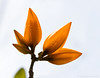 orange buds (marianna_a.) Tags: orange flower bud tree florida water drop macro mariannaarmata