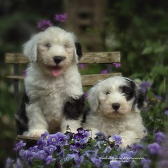 "It's mothersday... thought we bring you some flowers..."" explore"" (dewollewei) Tags: motherday explore exploreddogs explored oldenglishsheepdogs puppies puppy oes moederdag bobtail old english sheepdogs dogs oldenglishsheepdog"