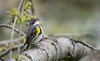 Sing for the moment (rmikulec) Tags: song sing warbler yellow rumped bird nature birding watching sony a6300 100400mm bokeh migration ornithology wild wildlife animal picture humber bay ontario hike branch tree spring springtime