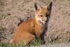 Fox kit tongue out (NicoleW0000) Tags: redfox fox kit cub wild wildlife nature photography ontario canada animal