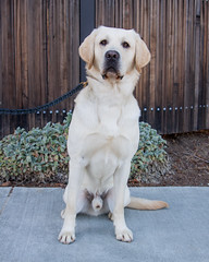 Levi front (Guide Dogs for the Blind) Tags: studdog breeder