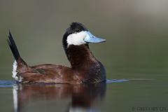 Ruddy Duck (Gregory Lis) Tags: ruddyduck oxyurajamaicensis gorylis gregorylis nikond810 nikon kelowna britishcolumbia