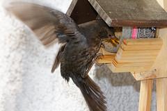 Diebische Amsel am Meisenhäuschen  /  Thieving blackbird on tits feed (wolfgang.kynast) Tags: vögel amsel blackbird