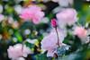 ILCE-7M2-09989-20180518-1538 // Tokina AT-X SD 80-200mm 1:2.8 (Otattemita) Tags: 80200mmf28 florafauna tokina tokinaatxsd80200mmf28 fauna flora flower nature plant wildlife tokinaatxsd80200mm128 sony sonyilce7m2 ilce7m2 cnaturalbnatural ota