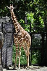 キリン ジャンプ (yuki_alm_misa) Tags: zoo いしかわ動物園 動物園 キリン giraffe