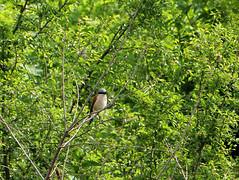 Neuntöter (SuIlKu) Tags: neuntöter vogel grau schwarz rosa