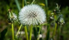 standing out (-Michal Slezak-) Tags: tamron 90mm macro fullframe fx nature nikon closeup wildelife wilderness flower d610 primelens przyroda dandelion macrodreams