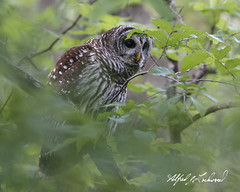 Peekaboo Barred Owl_T3W4206 (Alfred J. Lockwood Photography) Tags: alfredjlockwood nature wildlife raptor barredowl bird bokeh morning spring colleyvillenaturecenter trees leaves overcast portrait