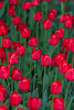 pattern of red tulips (Ulchiva) Tags: tulips background flower spring beautiful colorful red green garden nature pink field blossom bloom leaf bouquet color summer white beauty flora bright yellow natural close fresh plant floral petal closeup design park season purple 8may 9may victoryday agriculture bunch intensity day farm flowerhead flowerbed formalgarden growth highangle contrast multicolored newlife nopeople nonurbanscene open bulb rural single springtime stilllife vibrant vitality