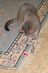 Millie 26 April 2018 9171Ri 4x6 (edgarandron - Busy!) Tags: cat cats kitty kitties tabby tabbies cute feline millie graytabby