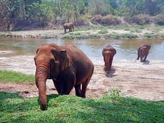 Elephant Nature Park, Thailand (Tim Aldworth) Tags: nikonaw130 thailand elephantnaturepark elephant park chiangmai rescue rehabilitation totallythailand