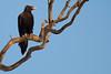 Wedge Tail Eagle on Squiggly Branch (david.john.lee) Tags: wedgetailedeagle canberra australia bird birdofprey