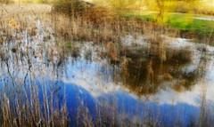 Marais marrant (Le.Patou) Tags: atlantique gironde aquitaine medoc vensac marais marécage jonc prairie bleu jaune or eau reflet swamp marsh wetland yellow blue gold water reflection miroir mirror effet effect