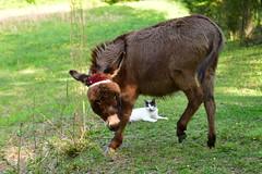 Dragon Fly Farm Donkeys 20180502 20180501  DSC_3091 Cat Happy Birthday (Shane's Flying Disc Show) Tags: donkeys catdragonflyfarm