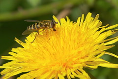 Hoverfly on Dandelion at Swanwick Lakes Nature Reserve, Hampshire, UK (Art-G) Tags: yellow wildflower dandelion hoverfly swanwick lakes2 swanwicklakes naturereserve hampshire uk canon eos7dmkii 100400lisusm hfdf