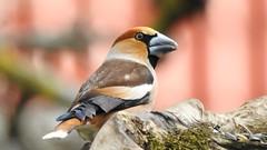 Hawfinch ♂ (Coccothraustes coccothraustes) (eerokiuru) Tags: hawfinch coccothraustescoccothraustes kernbeisser suurnokkvint bird backyardbirds p900 nikoncoolpixp900