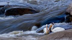 Pelicans (OriginalJo) Tags: travelphotography travel northwestterritories net outdoors photooftheday photography catchingfish wildlifephotography naturephotography nature wildlife birds pelicans slaveriver river water rapids