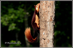 7843 - Malabar giant brown squirrel (chandrasekaran a 50 lakhs views Thanks to all.) Tags: malabargiantbrownsqurrel squirrel mammals nature india kerala wayanad canoneos6dmarkii tamronsp150600mmg2 tholpettywls wildlifesanctuary