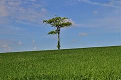 seul (hervétherry) Tags: france hautsdefrance pasdecalais sempy canon eos 7d efs 18200 champ paysage landscape arbre campagne clenleu