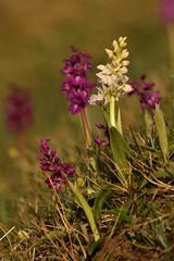 The Odd One Out (Derbyshire Harrier) Tags: earlypurpleorchids orchismascula 2018 peakdistrict peakpark cressbrookdale derbyshire whitepeak limestone spring may reserve naturalengland pale purple grassland