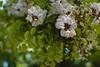 Flor de acacia (mariusbucsa) Tags: flor arbol acacia primavera mayo paseo flores plazadelolivo calatayud cascoantiguo aragón es españa nikkor nikond5600 nikon nikkor35mm18g
