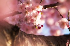 All the Pink (jasohill) Tags: 2018 glow spring flowers tohoku blossom fierce iwate sakura sunset city photography beautiful shidare pink matsuo life tree hachimantai cherry rain japan fire