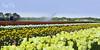 Tulpen velden in onderhoud ( Echt Mooi! Happy Shooting day!) Tags: groen