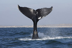Humpback Whale Fluke (toryjk) Tags: humpbackwhale whale nature wild ocean montereybay mbww fluke humpback cetacean megaptera novaeangliae megapteranovaeangliae tail tailslapping alldaywhalewatch
