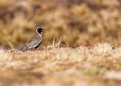 An hour at Sunddammen. (Kjell75) Tags: vardø varanger biotope norway bbc natgeo discovery northernnorway upnorway birdingvaranger birding ngc