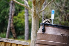 Raccoon sneaking into a garbage can. (g_4life101) Tags: a6000 icle6000 sony raccoon florida sel55210 nature