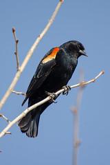 Red-winged blackbird (SilverLen) Tags: bird blackbird redwingedblackbird perch animal birding wildlife winnipeg manitoba