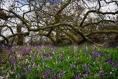 Carpet of Bluebells-Blickling Estate (GemFaith) Tags: uk norfolk spring blickling bluebell bluebells