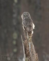 Great Gray Owl (T L Sepkovic) Tags: greatgrayowl strixnebulosa owl grayowl birdsofprey predators raptors bog canon promediagear wildlifephotography birdphotography