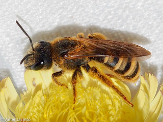 Great Banded Furrow Bee (Halictus scabiosae), female