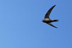 A7307714_DxO (jackez2010) Tags: ilce7m3 fe100400mmf4556gmoss bif birdinflight martinetnoir