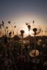 A dandelions sunset (Rene Wieland) Tags: sunset dandelion löwenzahn nature natur landscape lanschaft flora beautiful sun austria mostviertel österreich niederösterreich spring frühling springtime warm