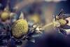 Mis primeras.....fresas.- (Charo R.) Tags: fresas canon macrofotografía