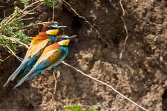 20mai18_06_prigorii prundu 06 (Valentin Groza) Tags: prigorie prigorii bee eater merops apiaster romania summer bird flight bif birdwatching outdoor