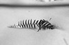 snow hike fern (RubyT (I come here for cameraderie!)) Tags: adoxscala160 pentaxpz1p fa43ltd film analog slidefilm positivefilm fern snow pentax pentaxart черноеибелое bw nb bn noirblanc blancoynegro blackandwhite schwarzweiss mono monocromo monochrome