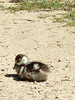 Egyptian gosling 1 (Artemis1947) Tags: sussex sheffieldpark nationaltrust animals birds geese egyptiangeese goslings