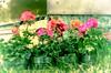Planting time (L E Dye) Tags: ukrainianculturalheritagevillage 2018 alberta canada d5100 floral gerainiums ledye nikon spring flower