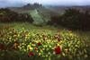 Tuscany - Spring Blossoms (030mm-photography) Tags: rot toskana italien reise landschaft poderebelvedere valdorcia nature italy tuscany travel landscape sunrise sonneuafgang nebel fog misty blossom frühling spring blüte poppy mohn