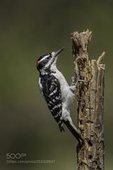 A male hairy woodpecker (KevinBJensen) Tags: prey avian bird woodpecker male hairy