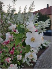 Springtime (Rocco-666) Tags: natur blume blüte frühling jahreszeiten